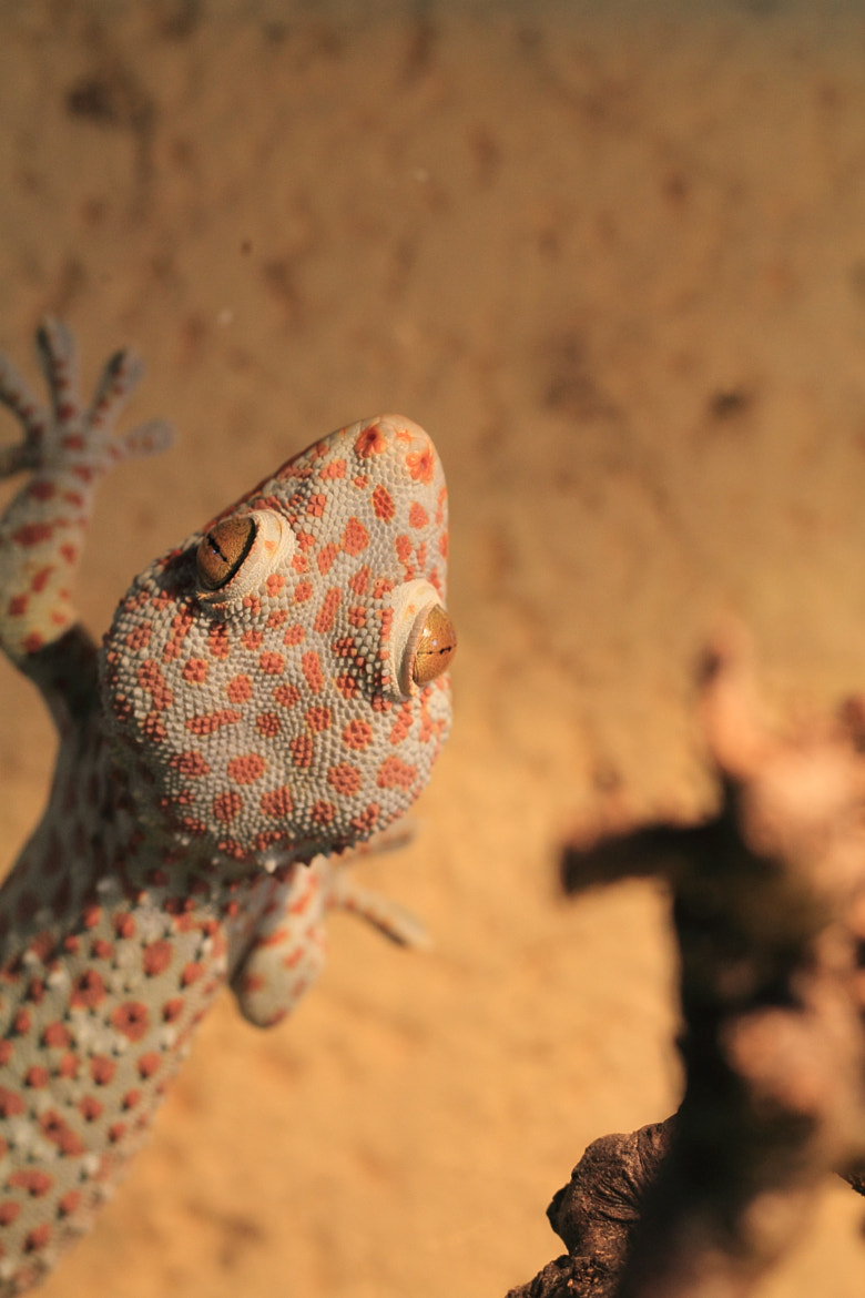 Photograph Tokay gecko by Eva Lechner on 500px