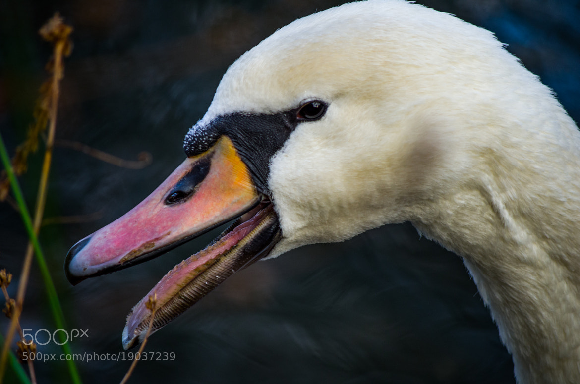 Photograph Swan by Johannes K. on 500px