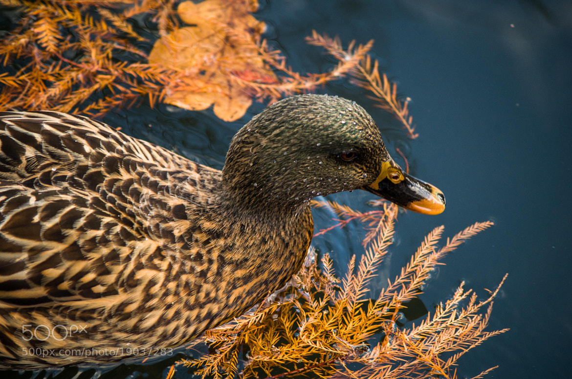 Photograph Female Duck by Johannes K. on 500px