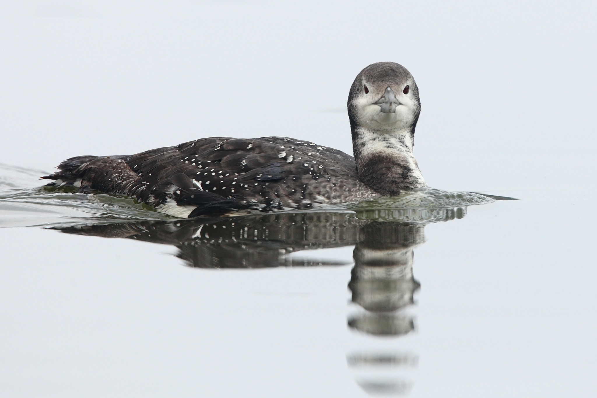 Photograph Loon by Chim Co on 500px