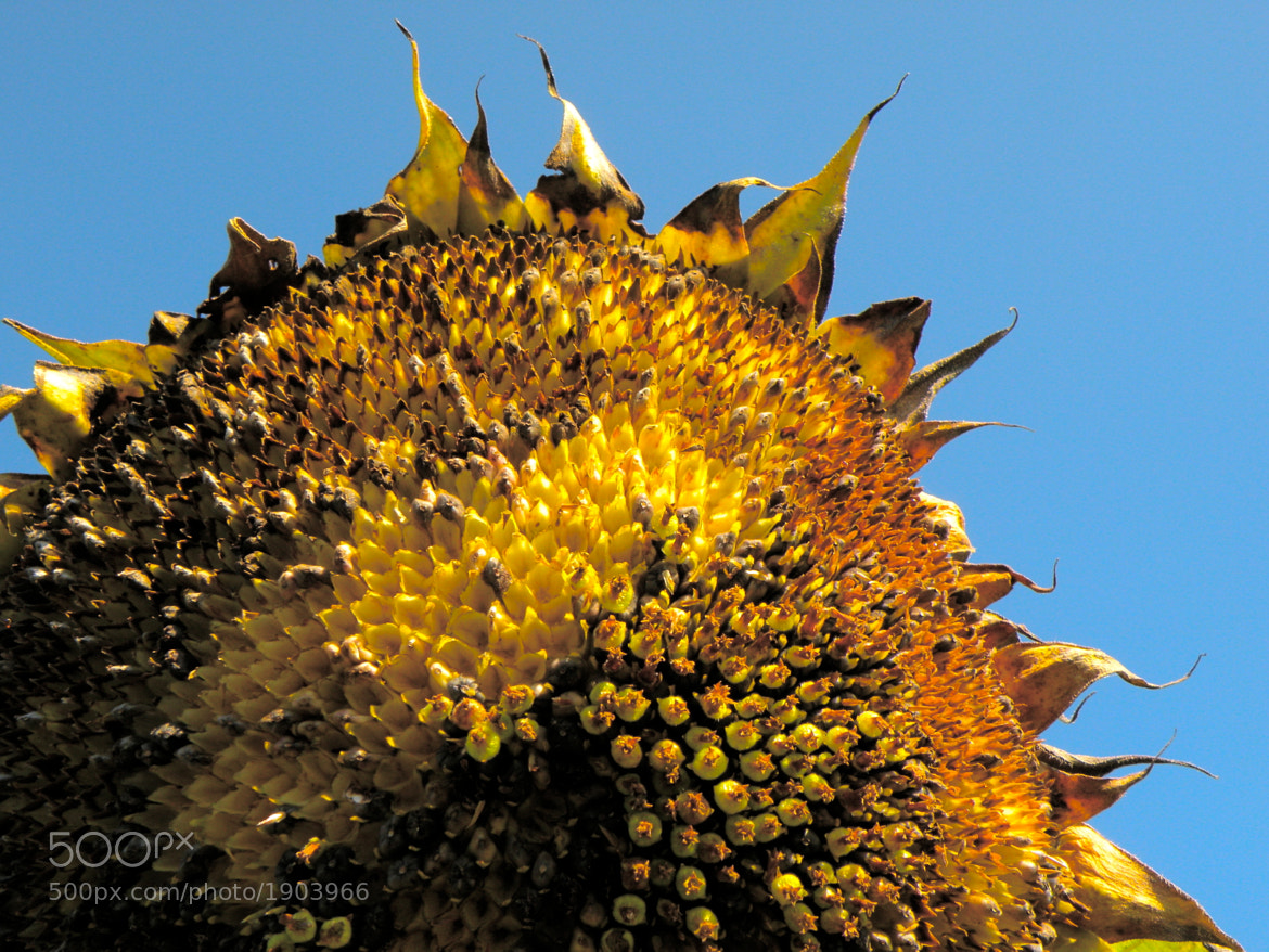 Photograph sunflower by Gary Liao on 500px