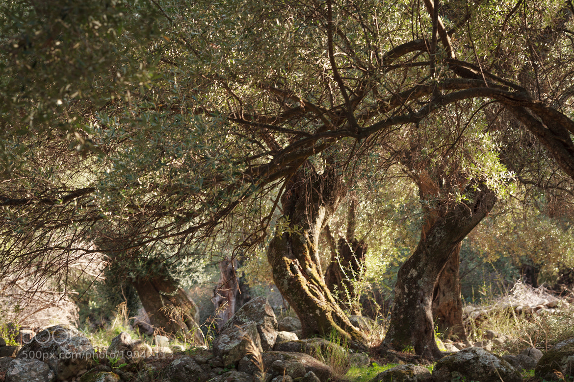 Photograph Olive tree by chris tell on 500px