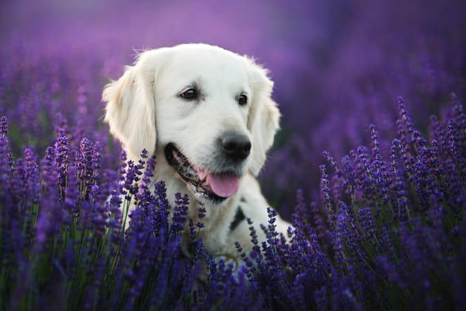 Lavender prinsess