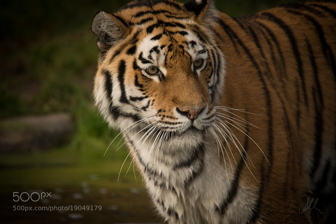 Photograph Tiger by Albin Brunnbauer on 500px
