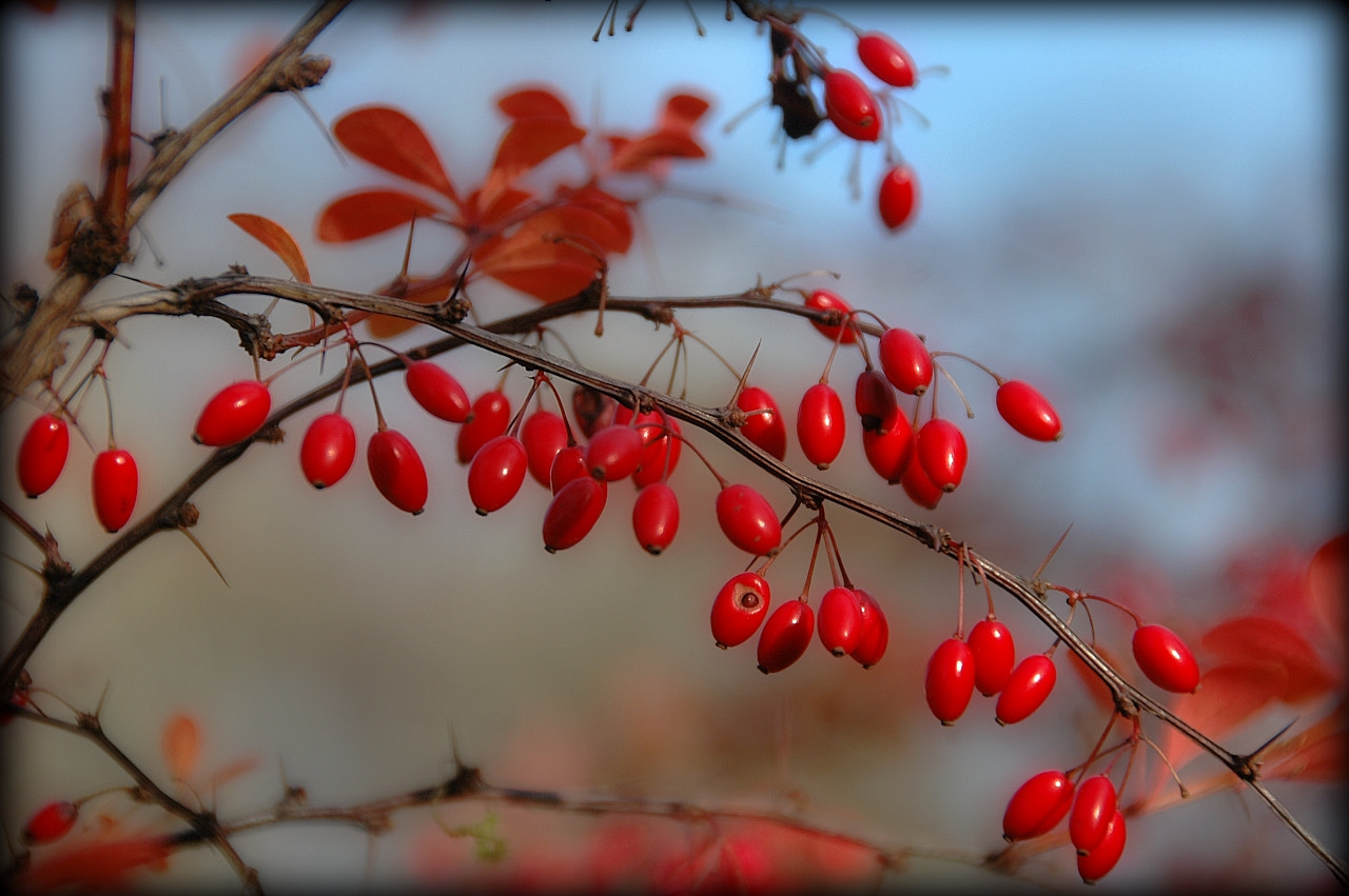 Photograph red berry by Sir Trauti on 500px