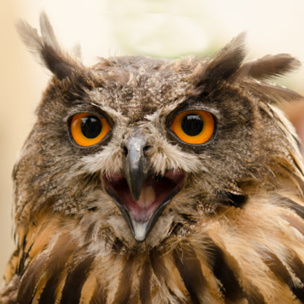 Owl completely angry!