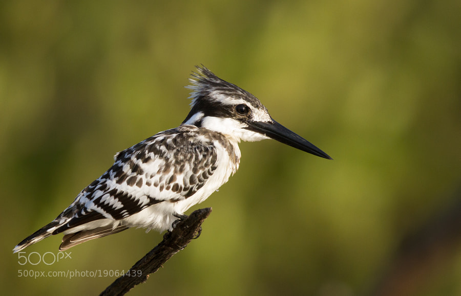 Photograph Pied Kingfisher by Ian Billenness on 500px