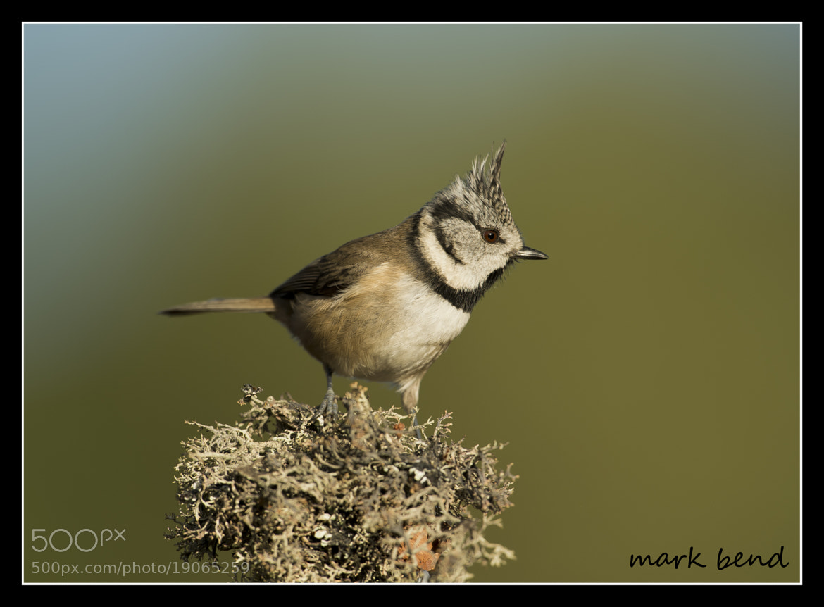Photograph crested tit by Mark Bend on 500px