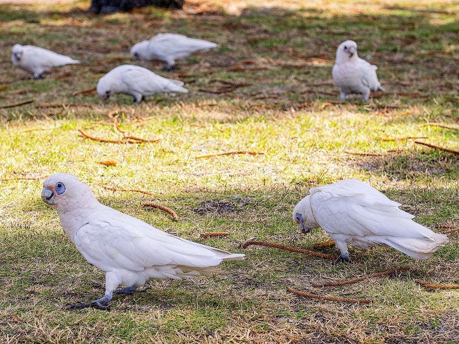 Little Corellas by Paul Amyes on 500px.com
