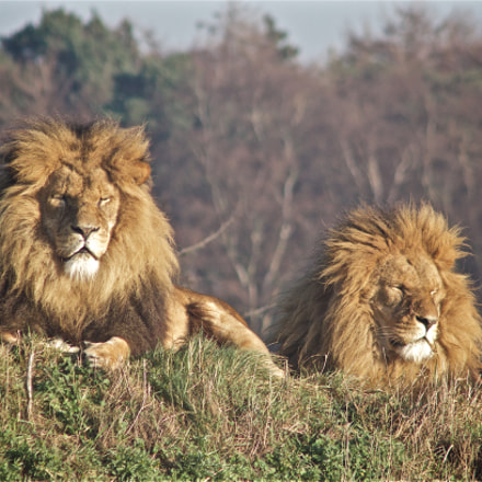 Two reclining lions, Canon EOS 7D MARK II, Canon EF 90-300mm f/4.5-5.6