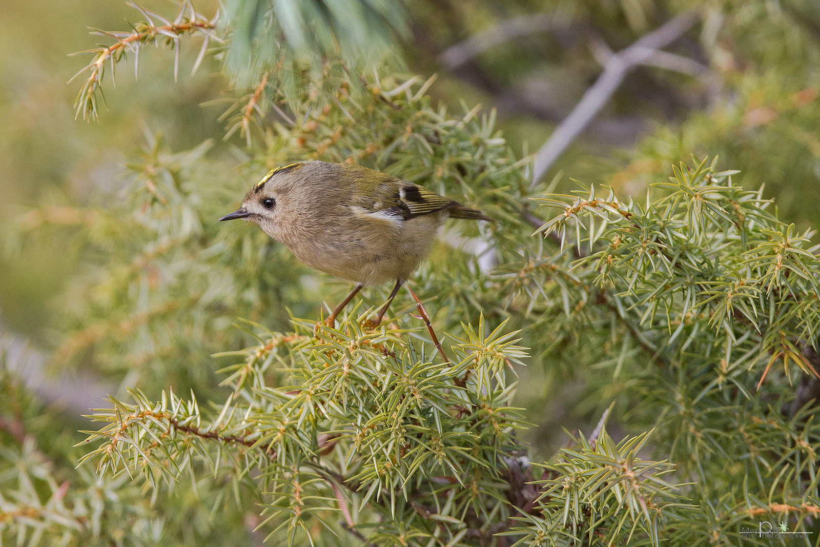 Photograph Goldcrest by Massimo Dadone on 500px