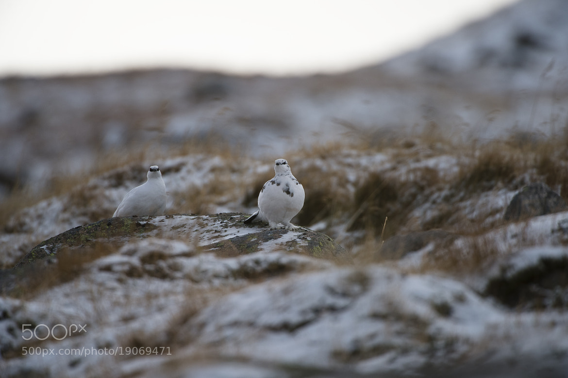 Photograph PAIR OF PTARMIGAN by Mark Bend on 500px