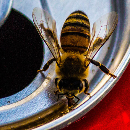 Thirsty Bee!, Canon EOS REBEL T4I, Tamron SP AF 90mm f/2.8 Di Macro