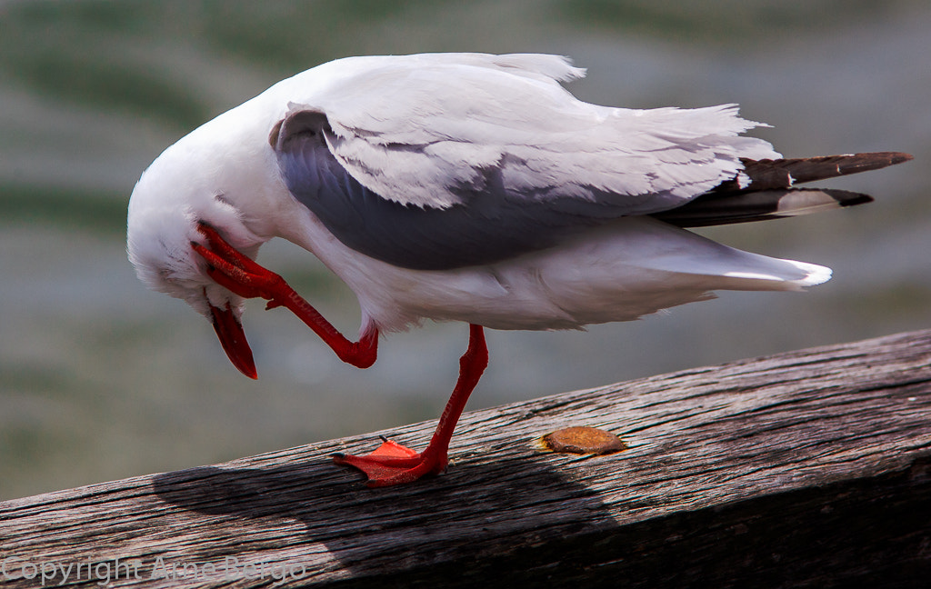 Photograph Silver Gull one leg by Arne Bergo on 500px