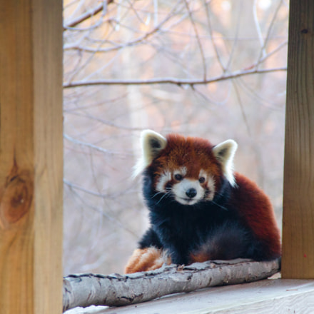 Red Panda, Canon EOS M3, Canon EF-S 18-135mm f/3.5-5.6 IS