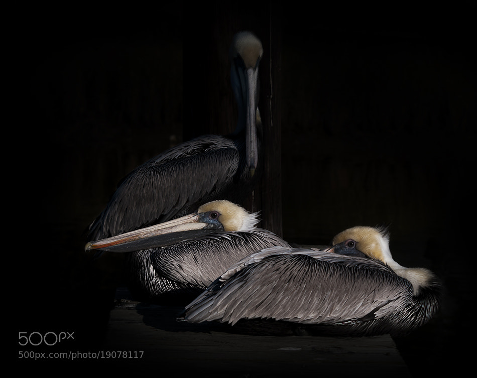 Photograph Pelicans by inigo cia on 500px