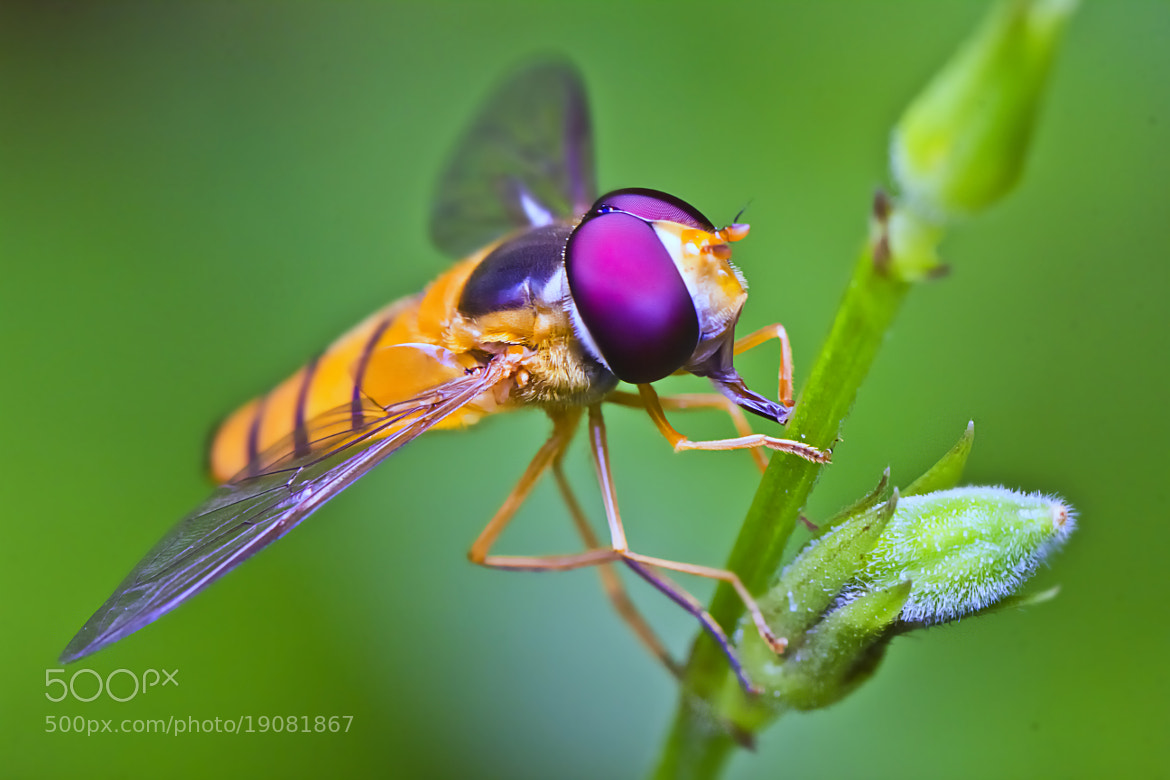Photograph HoverFly by leo bunggo on 500px