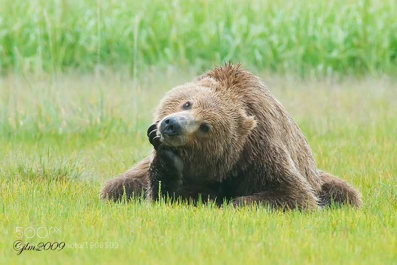 This image of the Kodiak Brown Bear was taken in Katmai, Alaska.  I have never envisioned a grizzly looking quite like this.