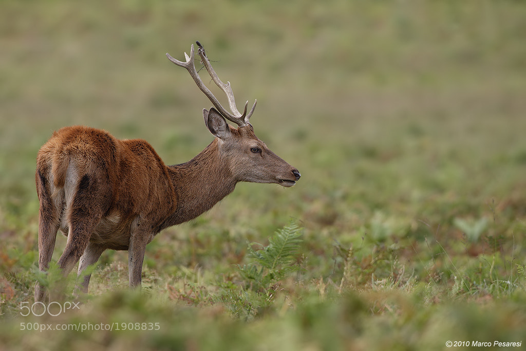 Photograph juvenile Red deer Stag by Marco Pesaresi on 500px
