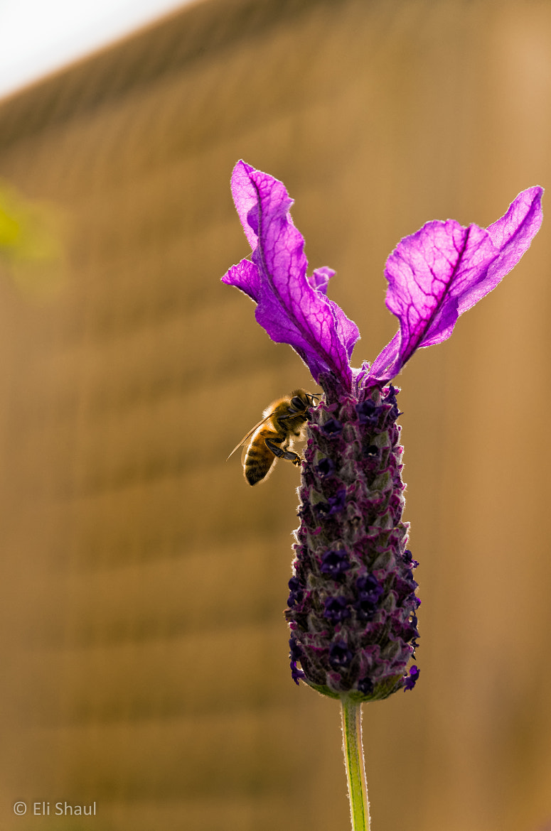 Photograph Afternoon bee by Eli Shaul on 500px