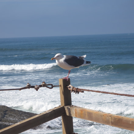 Seagull on Fence, Canon POWERSHOT ELPH 320 HS