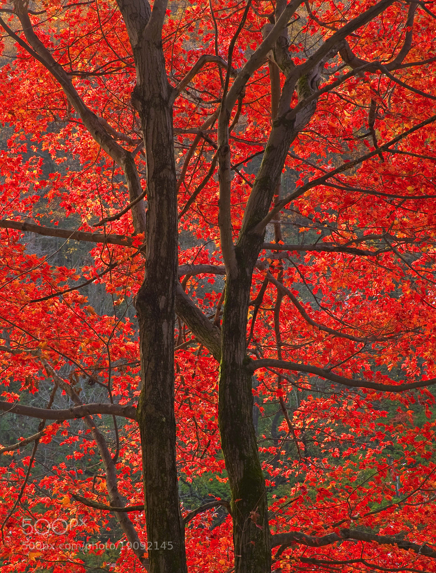 Photograph Fire Maple, Hudson Valley, NY, 2012 by Christopher Wisker on 500px