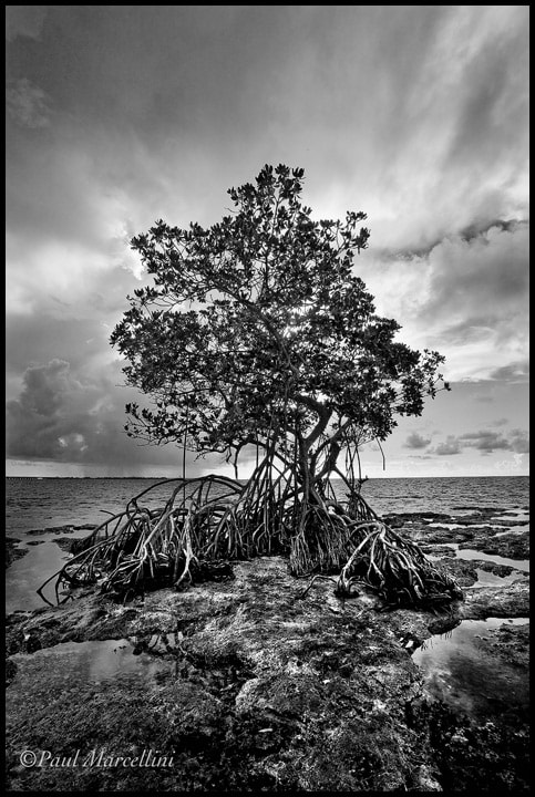 Photograph Mangrove in Mono by Paul Marcellini on 500px
