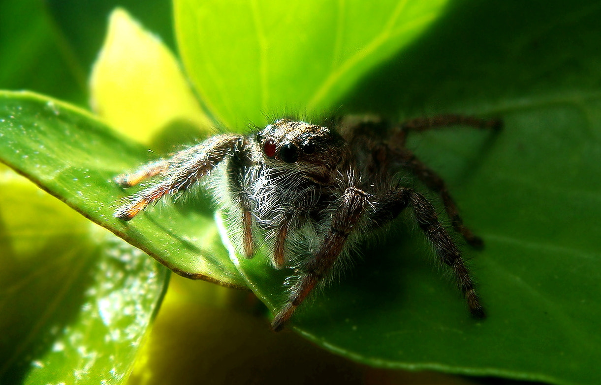Photograph BOWIE the micro spider... by Ian Blöckhead on 500px
