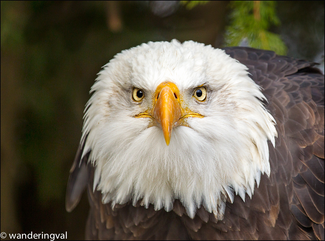 Photograph Bald Eagle / Белоголовый орлан. Portrait ;) by Wanderingval :-)  on 500px