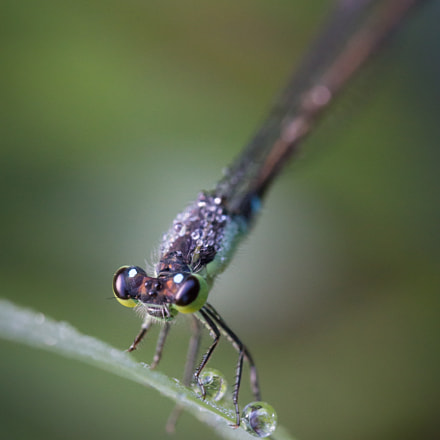 Damselfly and droplet