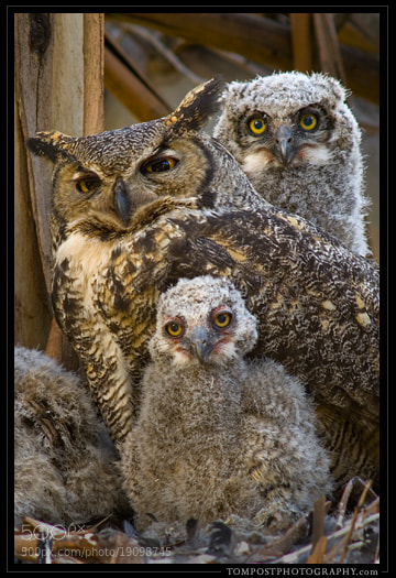Photograph Great Horned Owl Nest by Tom Post on 500px