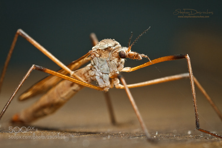 Photograph Attack of the Crane Flies by Stephen DesRoches on 500px
