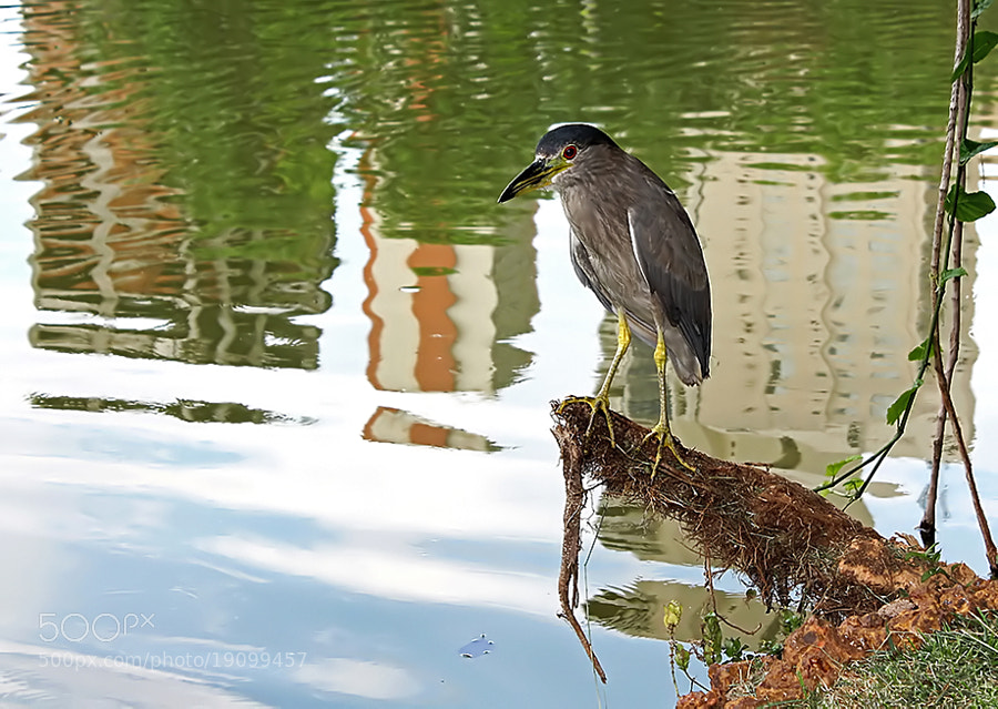 Photograph Heron Urban by  Soli Rocha on 500px