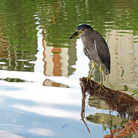 Heron Urban by  Soli Rocha (soli_rocha)) on 500px.com