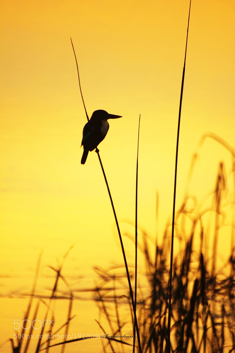 Photograph Evening Kingfisher by Sandesh nk on 500px