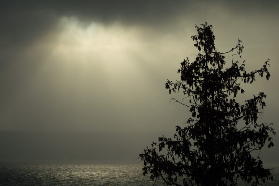 Cedar tree in thick fog and sunbeams