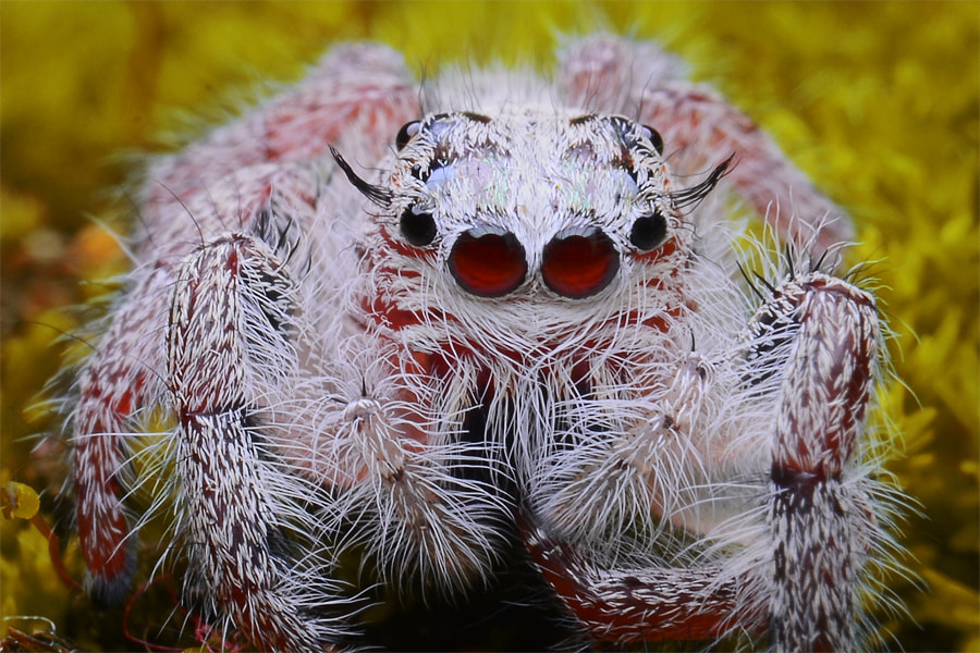 Photograph close-up of jumping spider by Tele Nicotin on 500px
