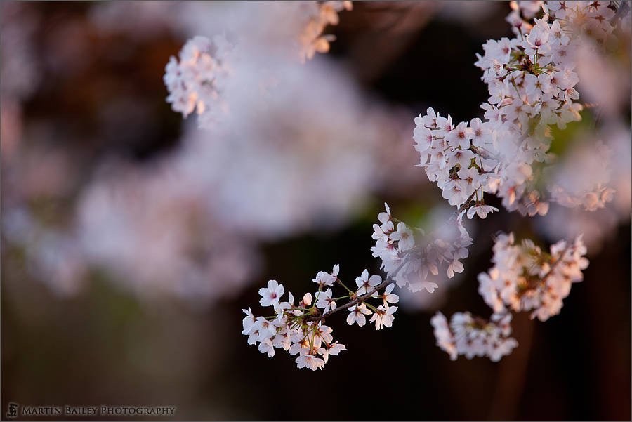 Photograph Blossom at Dusk by Martin Bailey on 500px