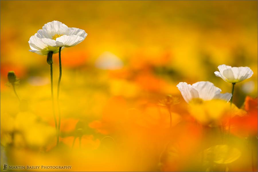 Photograph Poppy Heaven by Martin Bailey on 500px