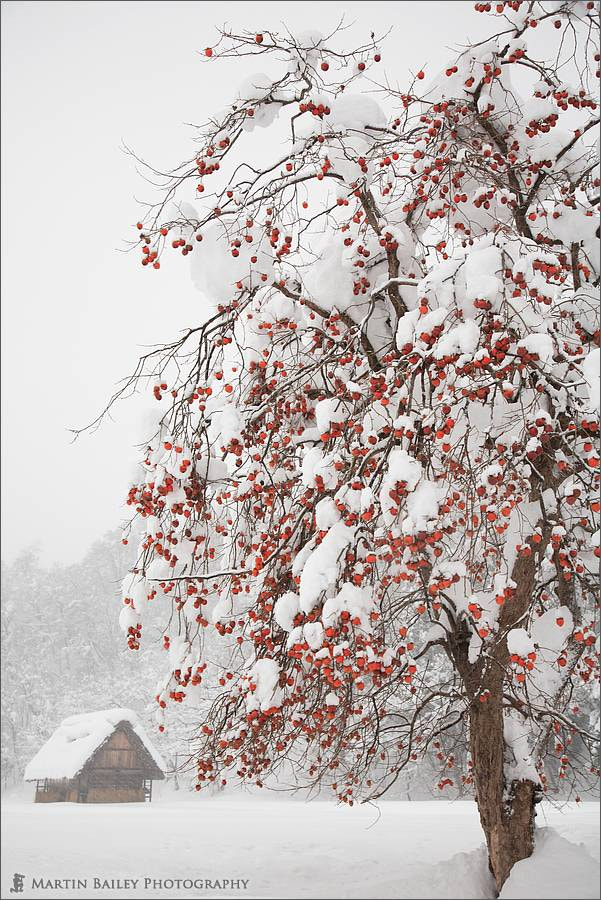 Photograph Winter Persimmon Tree by Martin Bailey on 500px