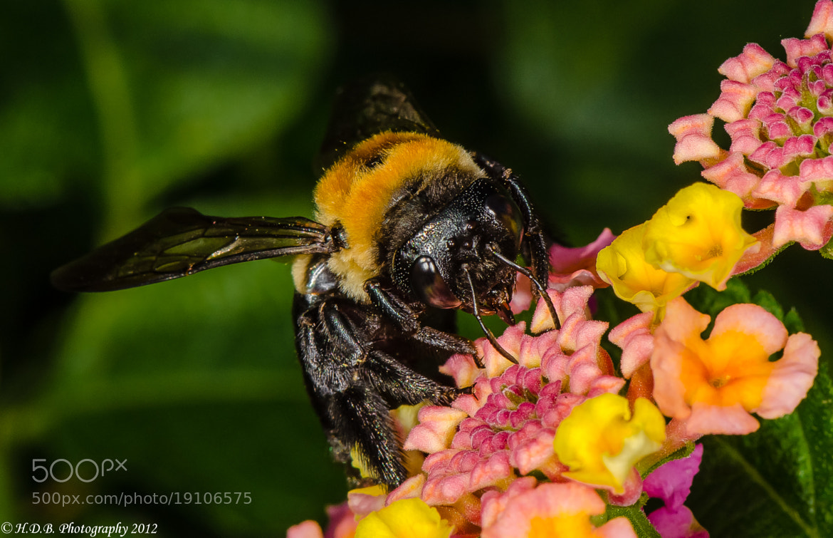 Photograph Carpenter Bee by Harold Begun on 500px