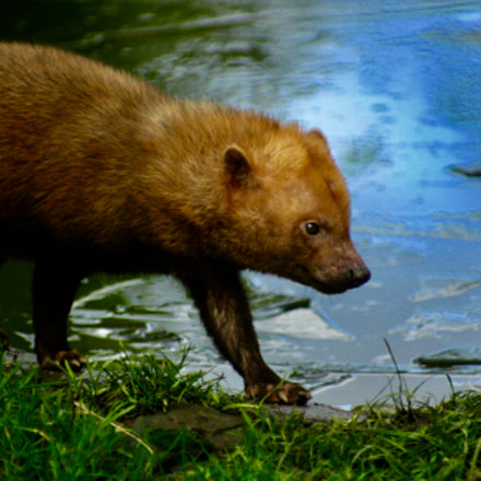 Bush dog, Canon EOS 1000D, Canon EF 100-200mm f/4.5A