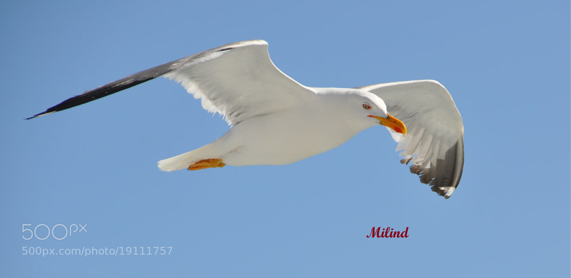 Photograph Seagulls II by मि. देशमुख on 500px