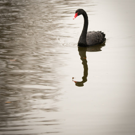 black swan, Sony ILCE-7, Tamron SP AF 180mm F3.5 Di LD [IF] Macro