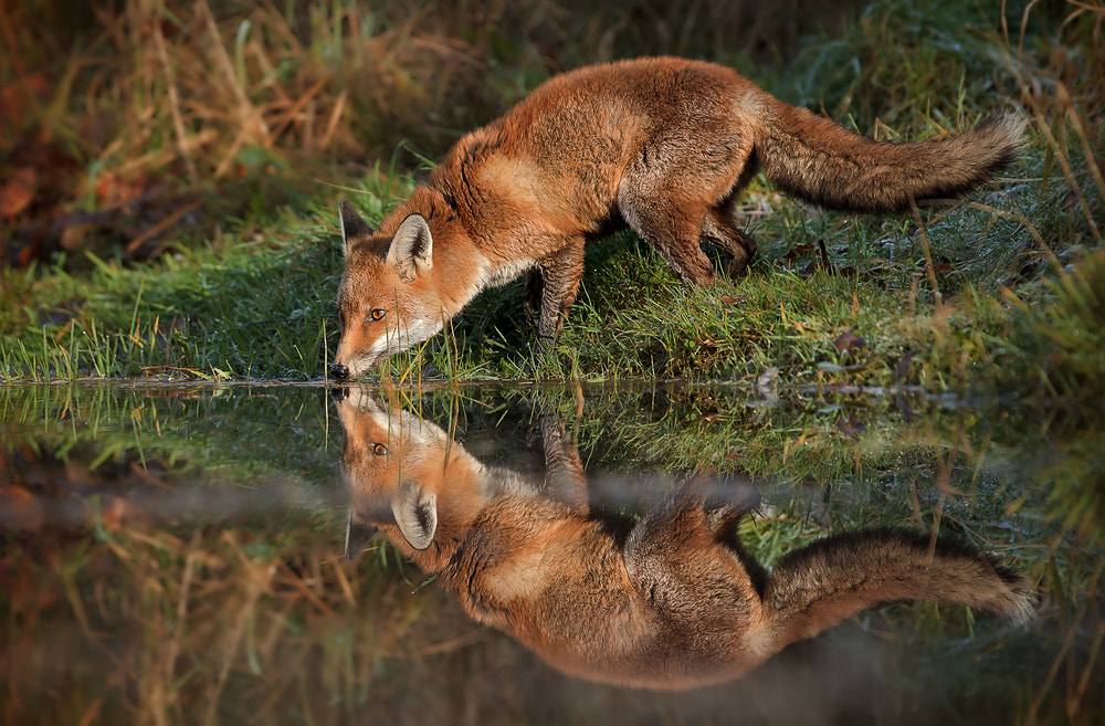Photograph Red Fox  by Phil  Morgan on 500px