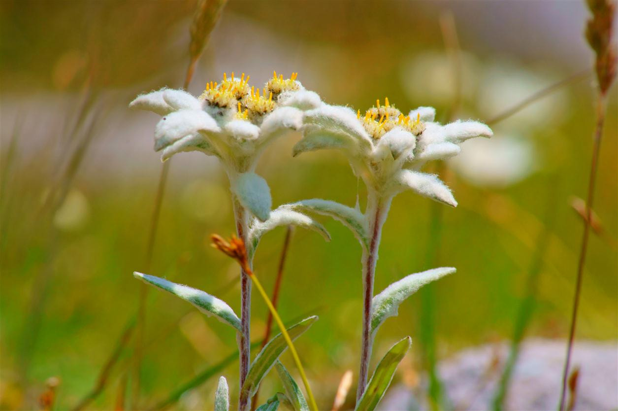 Photograph edelweiss - mountain pearl by Edvard - Badri Storman on 500px