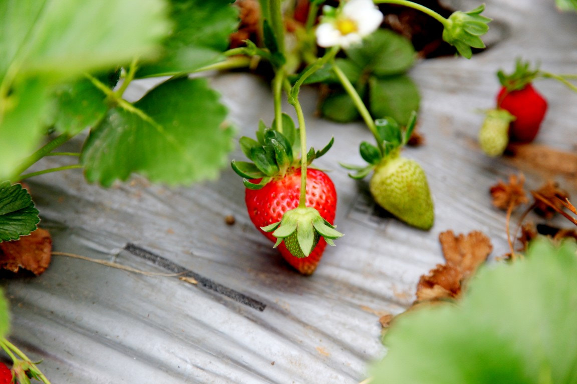 Photograph Fresh Strawberry by Alfes Ullah on 500px