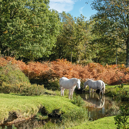 New Forest ponies, Nikon E5000