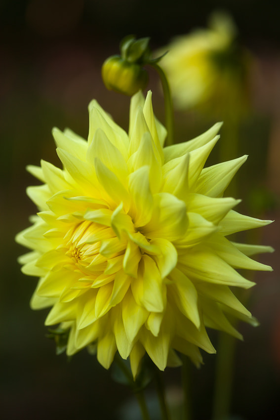 Photograph Yellow Dahlia by Ned Fenimore on 500px