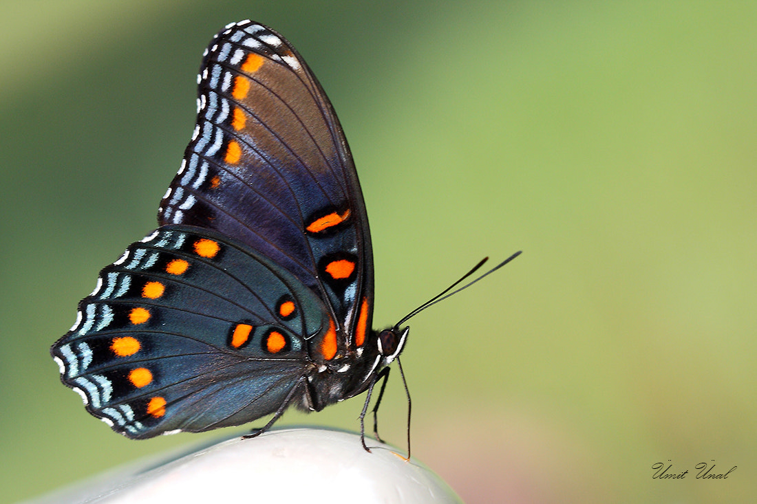 Photograph Red spotted purple by umit unal on 500px